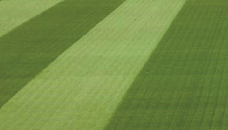 The same pitch 48 hours after an application of Humik N25 at 35g/m², highlighting the initial response from the turf.